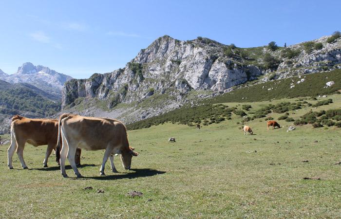 Las vacas pueblan los Lagos de Covadonga viaje a Asturias