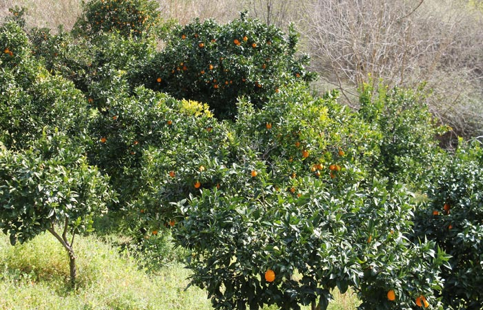 Campo de naranjos Ribeira do Mosteiro senderismo en Portugal