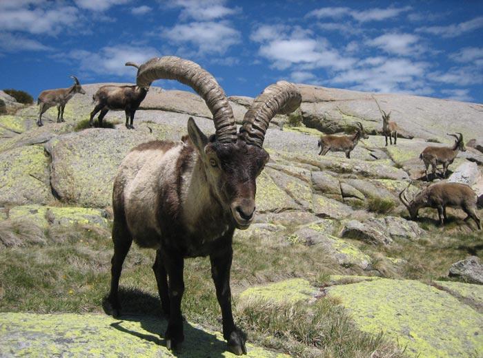 Cabras monteses Laguna Grande de Gredos