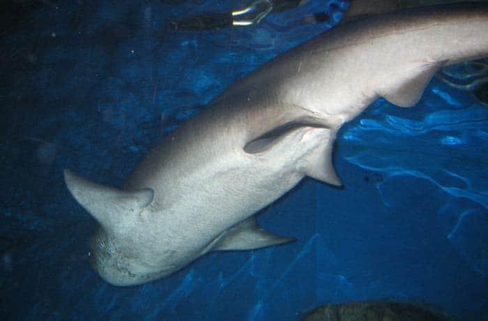 Tiburón en el Acuario qué ver en Melbourne