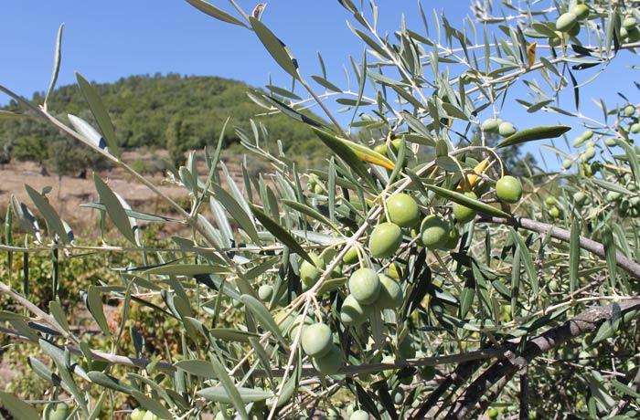 Aceitunas de uno de los olivos que se ven en el recorrido senderismo en Salamanca Miradores de las Sierras