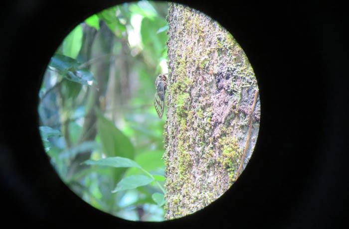 Una cigarra vista desde el telescopio del guía Parque Nacional Manuel Antonio