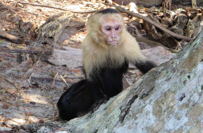 Uno de los monos capuchino Parque Nacional Manuel Antonio