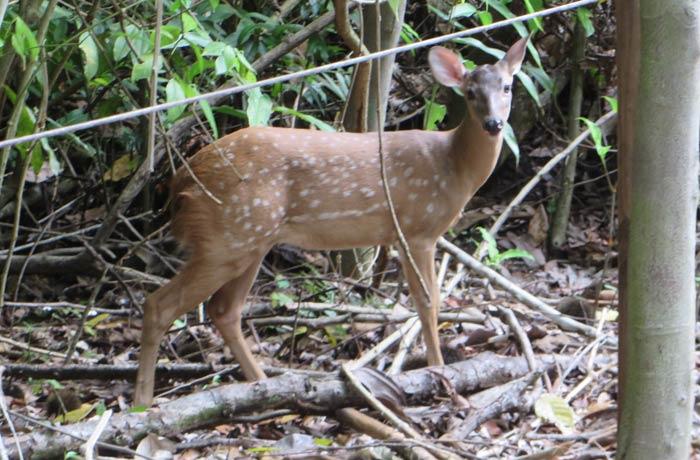 Un venado, una especie que no es autóctona de la zona Parque Nacional Manuel Antonio