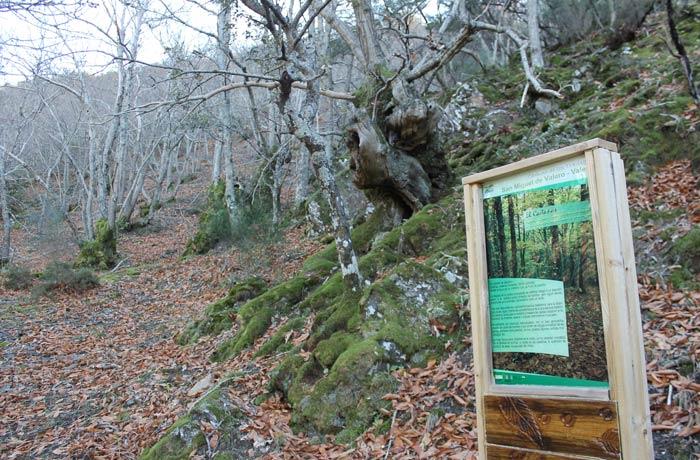 Castañar en el tramo entre Valero y San Miguel Camino de los Trasiegos