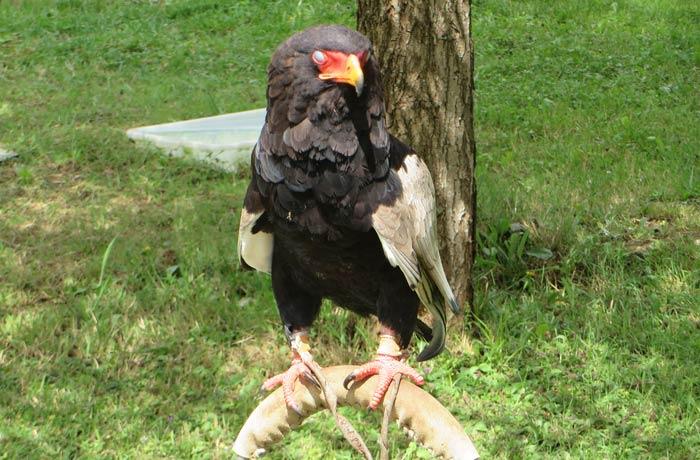 Un de las aves rapaces que se muestran en Cabárceno
