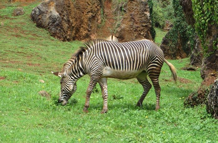 Una de las cebras que se puede ver zoo de cabárceno