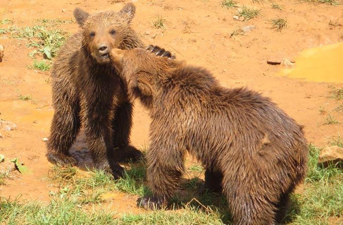 Otros dos simpáticos osos pardos zoo de cabárceno