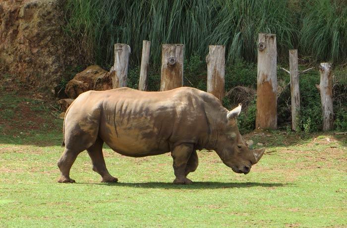 Uno de los rinocerontes del parque zoo de cabárceno