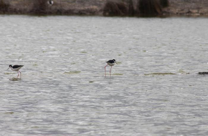 Cigüeñelas comunes en las Lagunas de Villafáfila