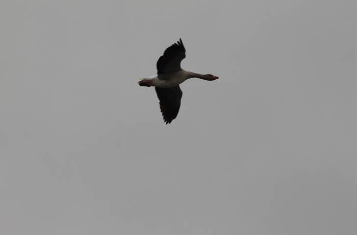 Un ganso volando en el entorno de las Lagunas de Villafáfila