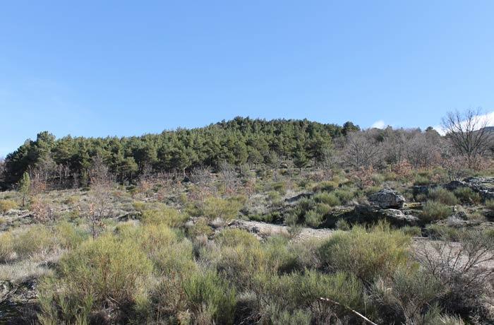 Pinos de repoblación al fondo y matorral bajo en primer plano al inicio de la ruta