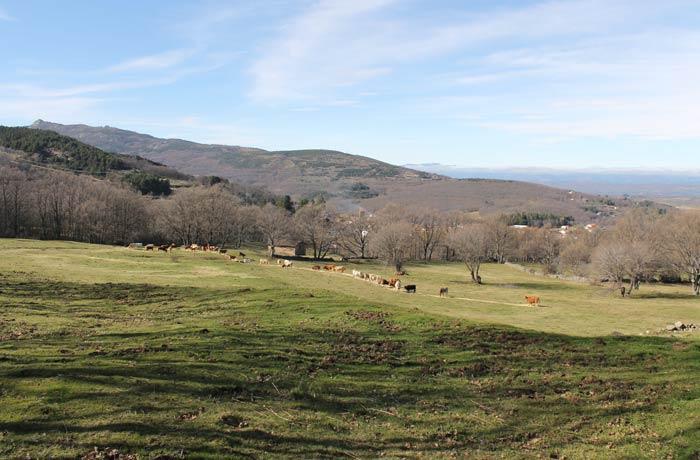 Prado con ganado vacuno en el tramo final de la ruta