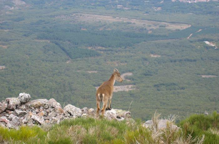 Una cabra montesa en la Peña de Francia