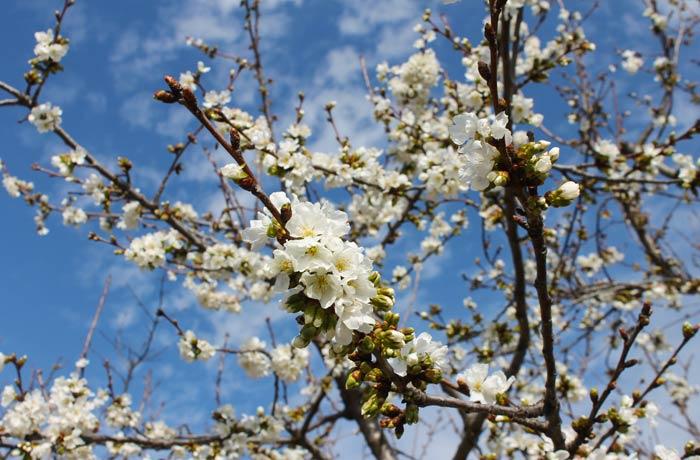 Flor del cerezo senderismo en el Jerte