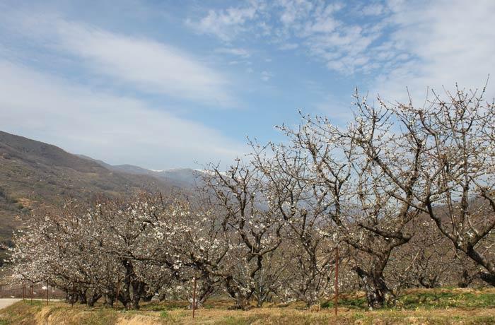 Cerezos en los alrededores de Navaconcejo con algunas flores senderismo en el Jerte