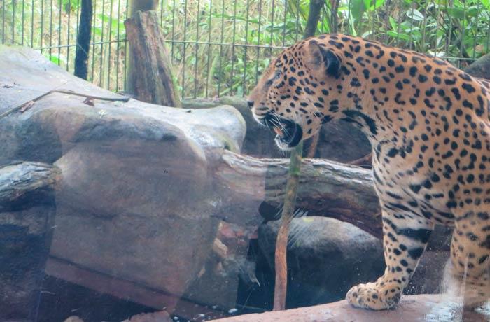 Un jaguar en su jaula