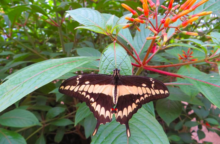 Bonita mariposa en el mariposario