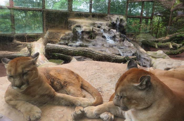 Dos pumas en la zona de felinos
