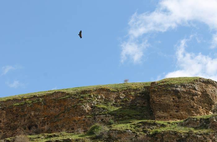 Un buitre leonado sobrevuela el cañón del río Duratón Senda de los dos Ríos