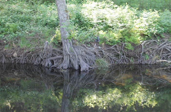 Bonita imagen de la raíces de este árbol adentrándose en el cauce del río Coa ruta en Sabugal
