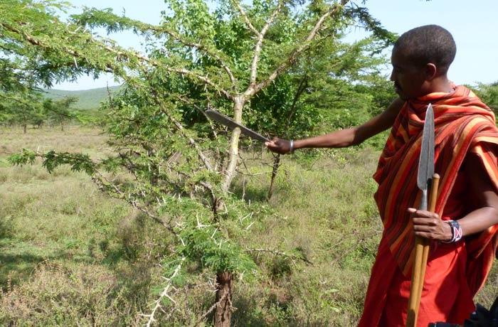 Explicación práctica de la utilidad que tienen las distintas plantas por el camino tribu Masái Kenia
