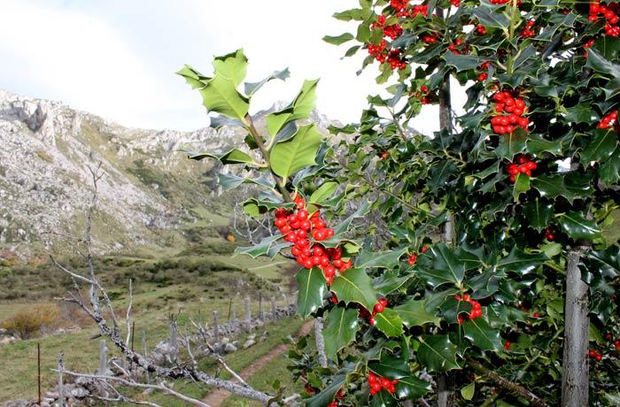 Frondoso acebo ruta Lago del Valle