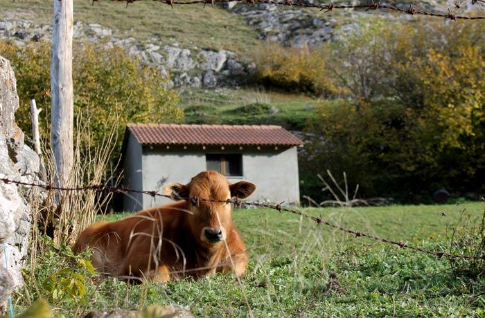 Una de las vacas que pastan en Somiedo ruta Lago del Valle