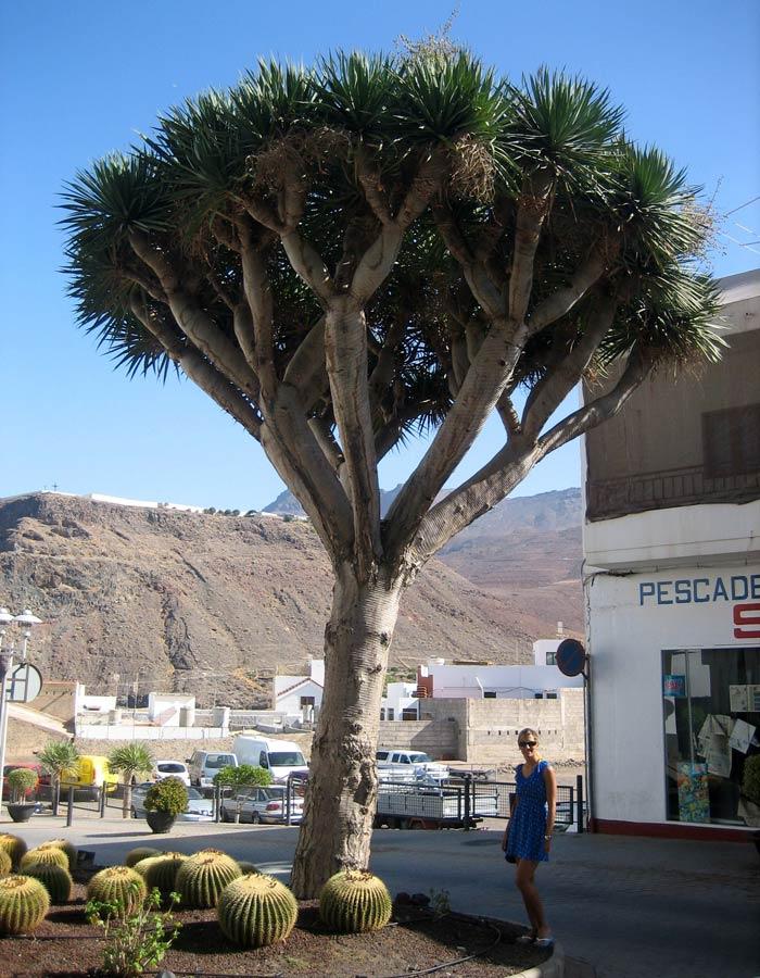 Un drago en Agaete qué ver en Gran Canaria