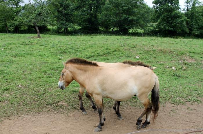 Ejemplares de caballos przewalski en el Parque de la Prehistoria de Teverga
