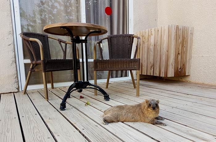 Un hyrax en nuestra terraza de la habitacion del Ein Gedi hotel Israel por libre