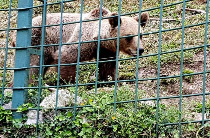 Un oso en el cercado de Proaza Senda del Oso en bici