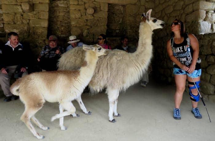 Dos llamas intentan 'conquistar' a una visitante en Machu Picchu consejos