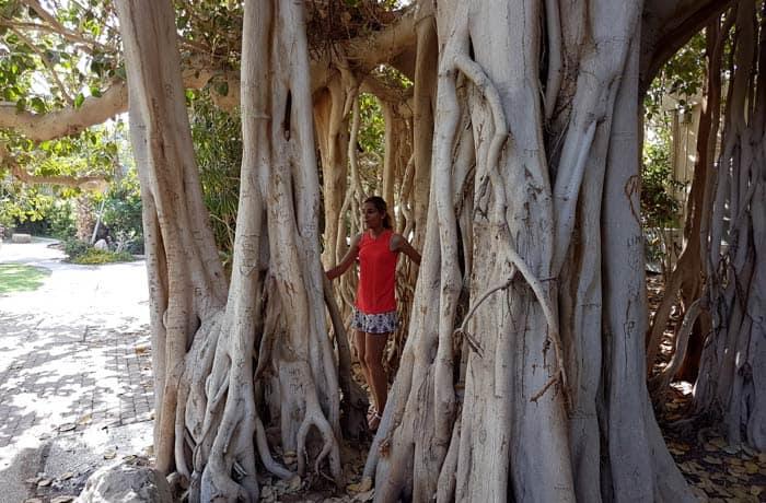 Uno de los árboles más espectaculares del jardín botánico de Ein Gedi mar Muerto en Israel