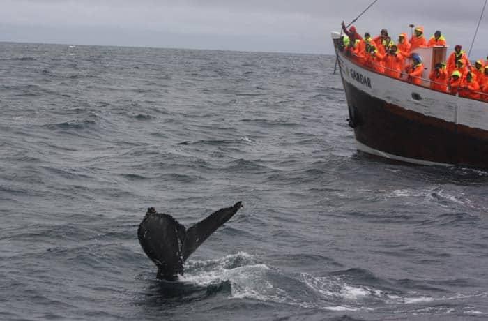 Ballenas en Húsavík Islandia por libre