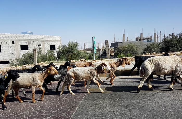 Cabras en la carretera antes de llegar a Petra