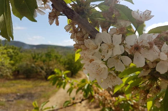 Cerezos en flor en la localidad de Sotoserrano ruta de los Tres Ríos