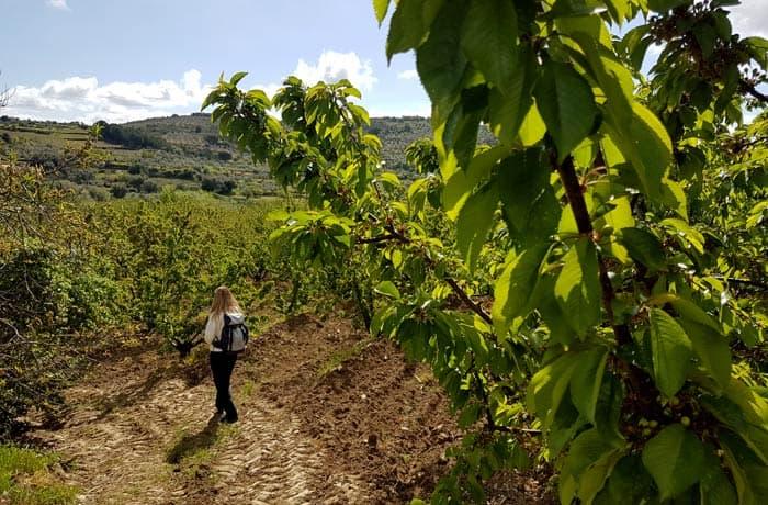 Campo de cerezos que se puede visitar en Sotoserrano nada más comenzar la ruta
