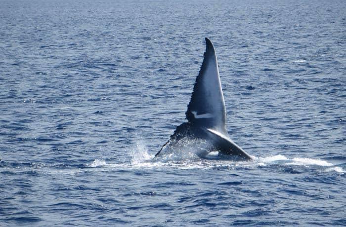 Cola de ballena jorobada durante el avistamiento con Futurismo en Sao Miguel viajar a las Azores por libre