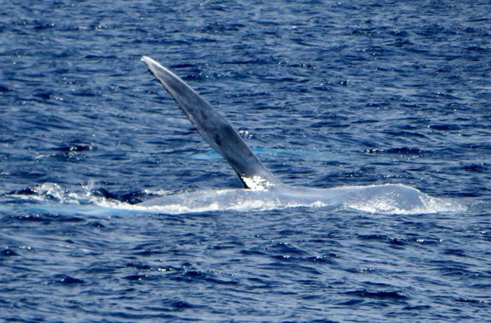 Aleta de una ballena azul ver ballenas en Azores