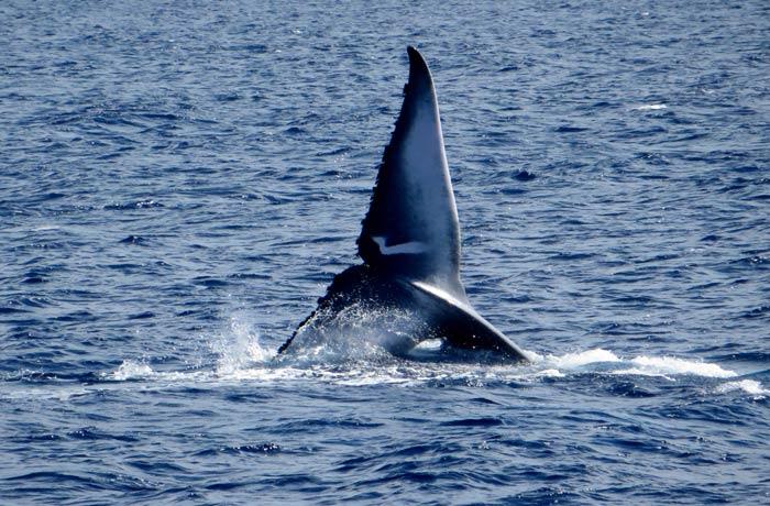 Cola de una ballena azul ver ballenas en Azores