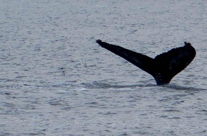 Cola de una de las ballenas que avistamos ver ballenas en Azores
