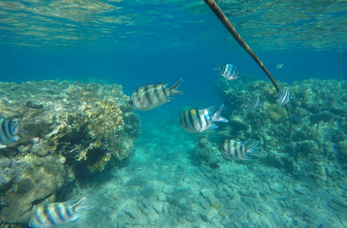 Varios peces sargento mayor qué hacer en Eilat
