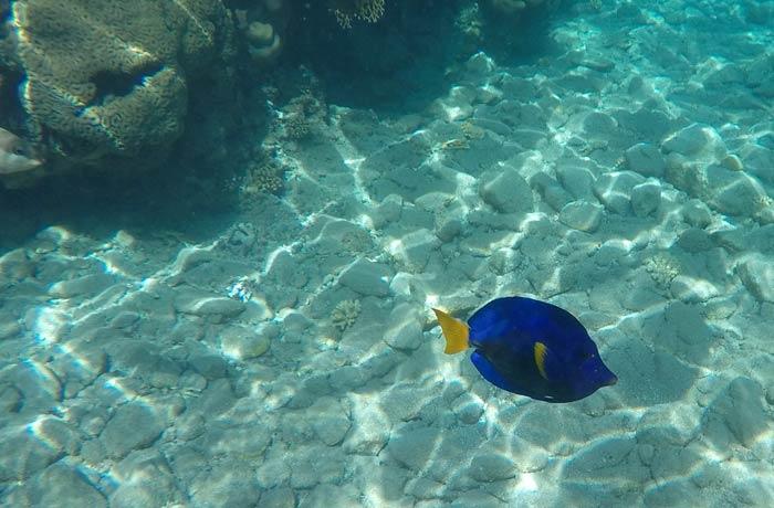 Un pez cirujano (Dory) qué hacer en Eilat