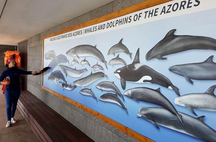 Mural con los diferentes tipos de cetáceos que se pueden ver en las Azores