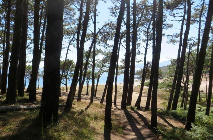 Pinar que rodea a la playa de Melide
