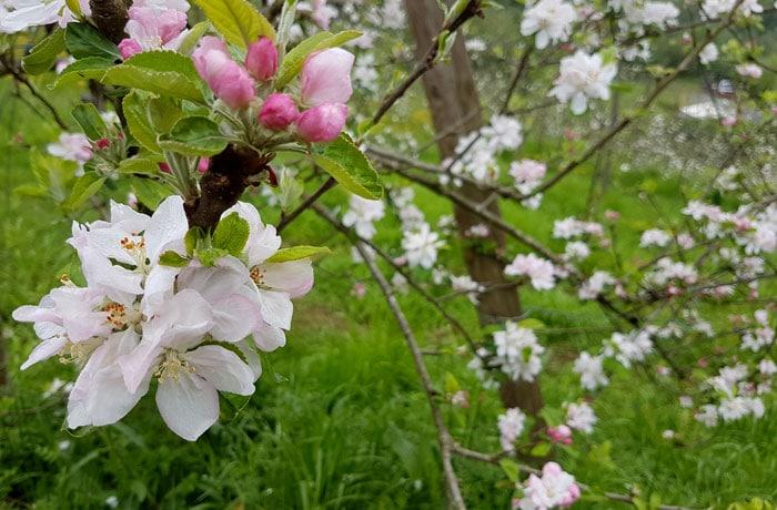 La belleza de la flor del manzano sidrerías en Astigarraga