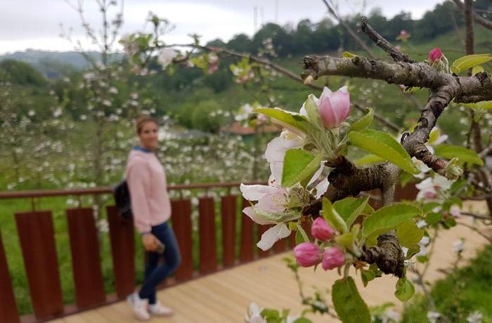 Manzanos en flor en Petritegi sidrerías en Astigarraga