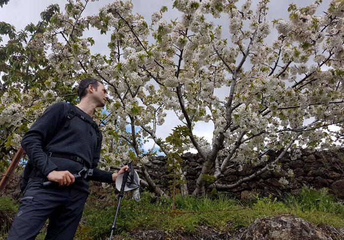 Ante uno de los cerezos florecidos de Las Nogaledas