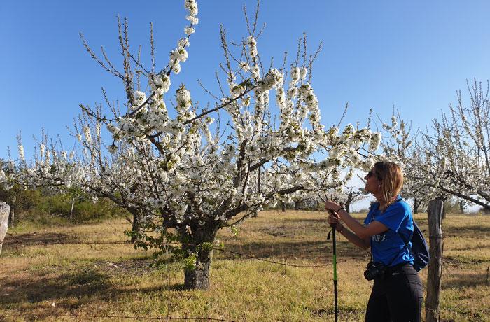 Floración de los cerezos en la Sierra de Francia